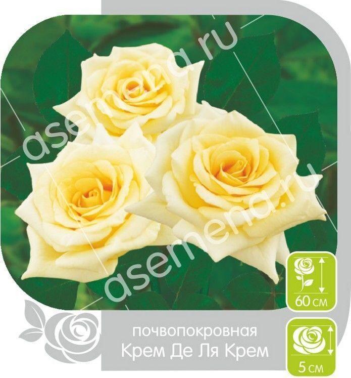 Крем де ля крем роза фото