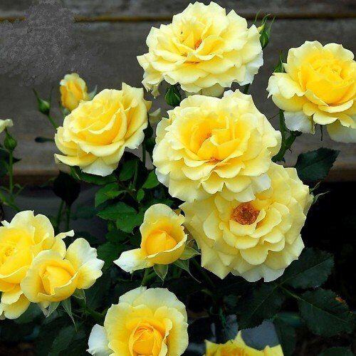 роза плетистая казино фото описание отзывы