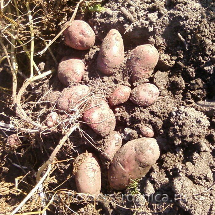 картофель журавинка описание сорта фото юристы самаре
